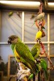 Piccolo uccello del pappagallo sul telefono Fotografie Stock Libere da Diritti