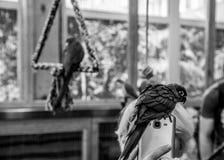 Piccolo uccello del pappagallo sul telefono Immagine Stock Libera da Diritti