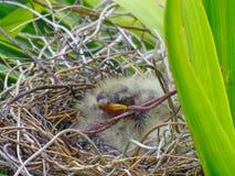 Piccolo uccello di bambino che prende un pelo nel nido Immagine Stock