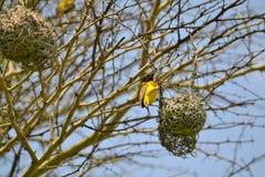 Piccolo uccello giallo Immagine Stock Libera da Diritti