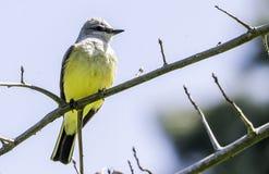 Piccolo uccello giallo del parco immagini stock