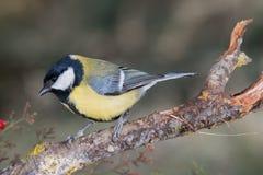 Piccolo uccello giallo in fauna selvatica Fotografie Stock