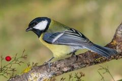 Piccolo uccello giallo in fauna selvatica Immagini Stock