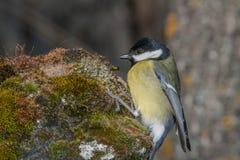 Piccolo uccello giallo in fauna selvatica Fotografia Stock