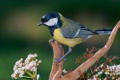 Piccolo uccello giallo nel ramo Fotografie Stock Libere da Diritti