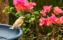 Piccolo uccello giallo tropicale con un seno bianco e un occhio rosso che si siedono su un vassoio d'alimentazione fotografie stock