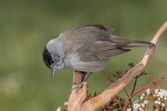 Piccolo uccello grigio in fauna selvatica Immagini Stock Libere da Diritti