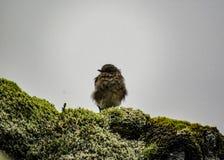 Piccolo uccello marrone che si siede sulla roccia coperta di muschio islandese verde molle fotografia stock libera da diritti