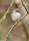 Piccolo uccello selvaggio lanuginoso fotografia stock