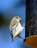 Piccolo uccello su un alimentatore fotografie stock