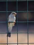 Piccolo uccello su un recinto Fotografia Stock