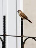Piccolo uccello su un recinto Fotografie Stock