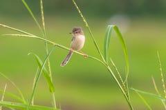 Piccolo uccello sulla pianta di riso della foglia. Immagini Stock