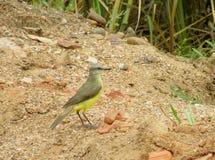 Piccolo uccello sulla terra Fotografia Stock
