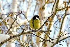 Piccolo uccello - titmouse Fotografie Stock