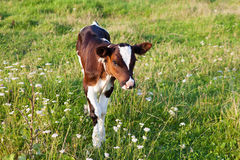 Piccolo vitello Fotografia Stock