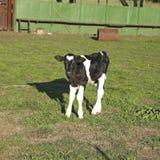 Piccolo vitello. America Latina Immagini Stock