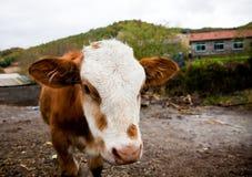 Piccolo vitello sveglio Fotografia Stock Libera da Diritti