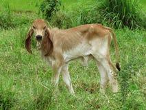 Piccolo vitello Sveglio-rosso rosso del vitello Immagine Stock