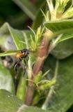 Piccolo volo nero e marrone della vespa Fotografie Stock