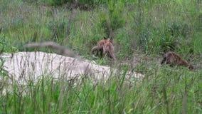 Piccolo volpi, cuccioli della volpe alla casa della volpe stock footage