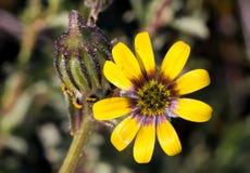 Piccolo wildflower giallo luminoso della margherita Immagine Stock