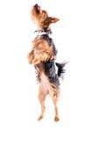 Piccolo Yorkie agile o Yorkshire terrier Fotografia Stock Libera da Diritti