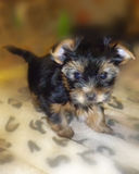 Piccolo Yorkshire terrier del cucciolo sul letto fotografie stock