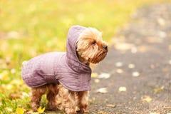 Piccolo Yorkshire terrier del piccolo cane in vestito all'aperto femile dal cappuccio Immagini Stock