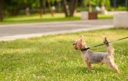 Piccolo Yorkshire terrier nel parco fotografie stock