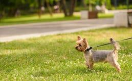 Piccolo Yorkshire terrier nel parco fotografia stock libera da diritti