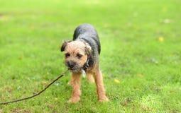 Piccolo Yorkshire terrier nel parco immagini stock