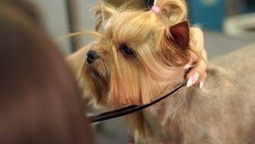 Piccolo Yorkshire terrier nel salone governare che ottiene taglio di capelli Primo piano stock footage