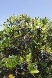 Picconia azorica shrub Stock Photos