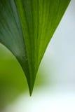 Pice des großen grünen Blattes Stockfoto