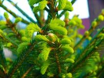 Picea спруса Норвегии abies - конусы сосны Стоковое Изображение RF