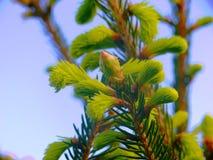 Picea спруса Норвегии abies - конусы сосны Стоковое Изображение