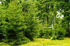 Picea спрусов зеленого цвета abies расти в вечнозеленом coniferous лесе в парке ландшафта гор сыча, Sudetes, Польше Стоковые Изображения