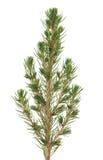 Picea Stockbild
