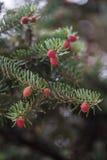Picea abies Acrocona Immagini Stock Libere da Diritti