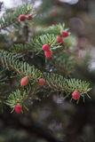 Picea abies Acrocona Royalty Free Stock Images