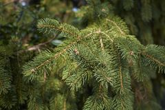 Picea abies branch close up. Evergreen tree of Picea abies royalty free stock image