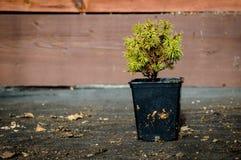 Picea abies globosa obrazy stock