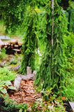 Picea abies Inversa, weeping conifer planted in garden. With tree logs and hostas Royalty Free Stock Images