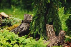 Picea abies Inversa, weeping conifer planted in garden with tree logs Stock Photography