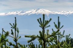 Picea abies Norway Spruce treetops against snow capped mountain. Close up of Picea abies Norway Spruce treetops in sharp focus against blurred snow capped Stock Image