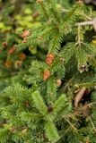 Picea abies Pusch- the Norway spruce. Is a species of spruce native to Northern, Central and Eastern Europe royalty free stock photos
