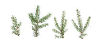 Picea abies, spruce. On a white background royalty free stock photo