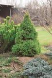 Picea alpina canadiense en la colina decorativa Fotos de archivo