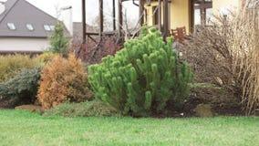Picea alpina canadiense en la colina decorativa Imagenes de archivo